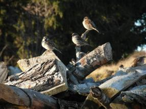 oiseauxboisgaillard